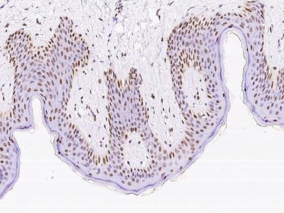 NR2C1 Antibody, Rabbit PAb, Antigen Affinity Purified