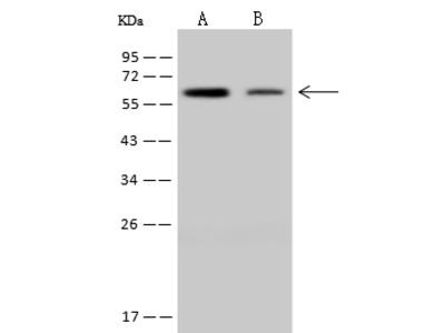 NDOR1 Antibody, Rabbit PAb, Antigen Affinity Purified