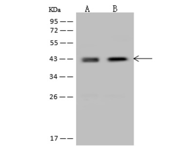 NDEL1 Antibody, Rabbit PAb, Antigen Affinity Purified