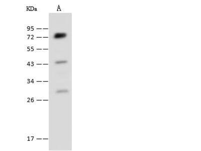 POR/CYPOR Antibody, Rabbit PAb, Antigen Affinity Purified