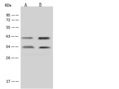 MTG1 Antibody, Rabbit PAb, Antigen Affinity Purified