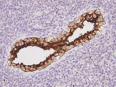 Doppel/PRND Antibody, Rabbit PAb, Antigen Affinity Purified
