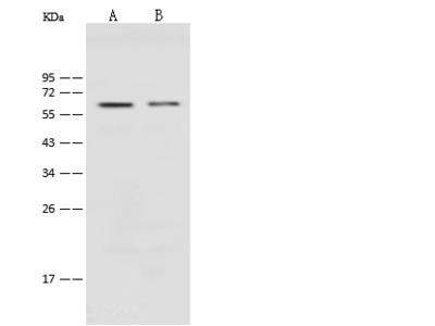 PODXL Antibody, Rabbit PAb, Antigen Affinity Purified