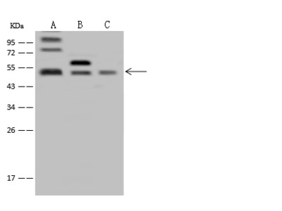 FAM175B Antibody, Rabbit PAb, Antigen Affinity Purified