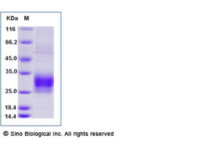 Human CREG1 Protein (His Tag)