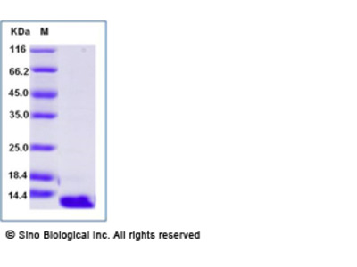 Human CCL26 / Eotaxin-3 Protein