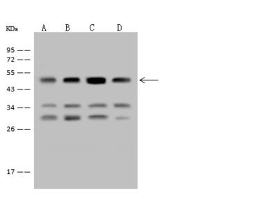 EEF1A2 Antibody, Rabbit PAb, Antigen Affinity Purified