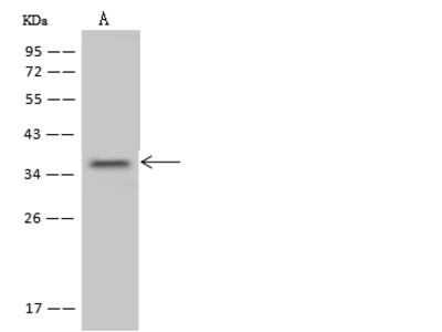 NTAN1 Antibody, Rabbit PAb, Antigen Affinity Purified