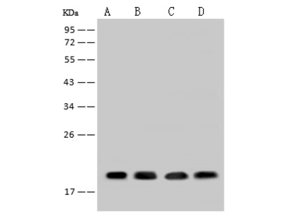 SUMO4 Antibody, Rabbit PAb, Antigen Affinity Purified