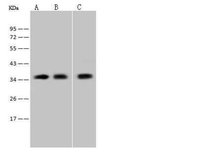 CD300f Antibody, Rabbit PAb, Antigen Affinity Purified