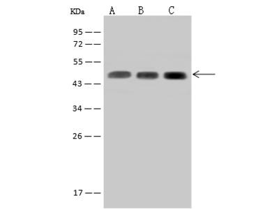 SUCLA2 Antibody, Rabbit PAb, Antigen Affinity Purified