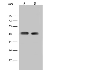 F2RL3 Antibody, Rabbit PAb, Antigen Affinity Purified