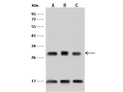 ASB9 Antibody, Rabbit PAb, Antigen Affinity Purified