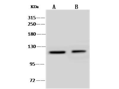 Ptprn Antibody, Rabbit PAb, Antigen Affinity Purified