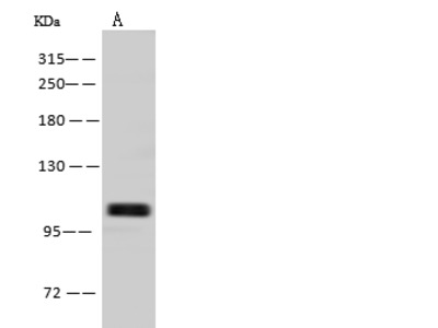 BBX Antibody, Rabbit PAb, Antigen Affinity Purified
