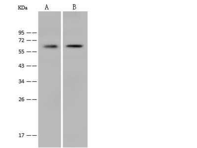 Nrf2/NFE2L2 Antibody, Rabbit PAb, Antigen Affinity Purified
