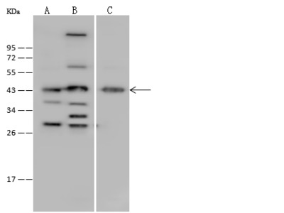 BCAT1 Antibody, Rabbit PAb, Antigen Affinity Purified