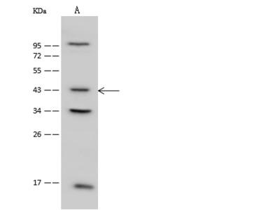 PSMC6 Antibody, Rabbit PAb, Antigen Affinity Purified