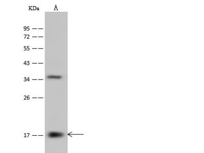 PPIL3 Antibody, Rabbit PAb, Antigen Affinity Purified
