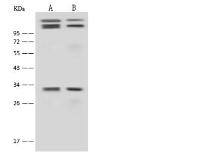 Cyclin D3/CCND3 Antibody, Rabbit PAb, Antigen Affinity Purified