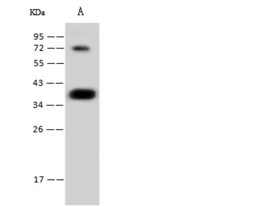 CGREF1 Antibody, Rabbit MAb