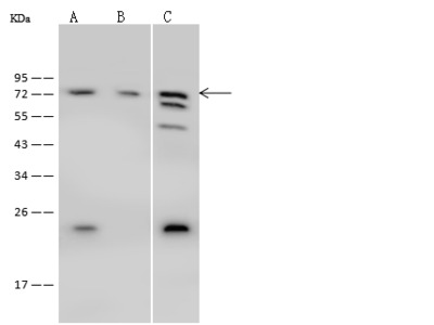 PABPC1 Antibody, Rabbit PAb, Antigen Affinity Purified