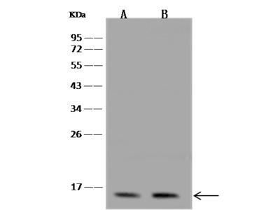 SSBP1 Antibody, Rabbit PAb, Antigen Affinity Purified