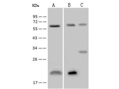 TROVE2 Antibody, Rabbit PAb, Antigen Affinity Purified