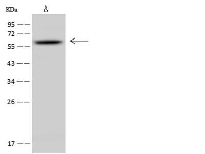 NR1D2 Antibody, Rabbit PAb, Antigen Affinity Purified