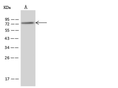 PABPC4 Antibody, Rabbit PAb, Antigen Affinity Purified