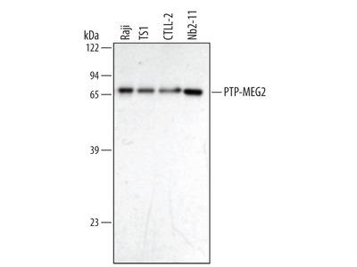PTP-MEG2 Antibody