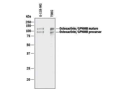 Osteoactivin / GPNMB Antibody