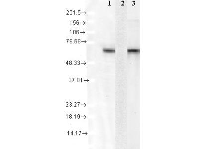 HSPA8 / HSC70 Monoclonal Antibody