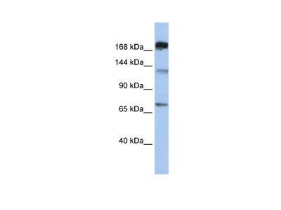 MTR antibody - C-terminal region (ARP48473_P050)