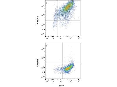 CHRM2 Antibody