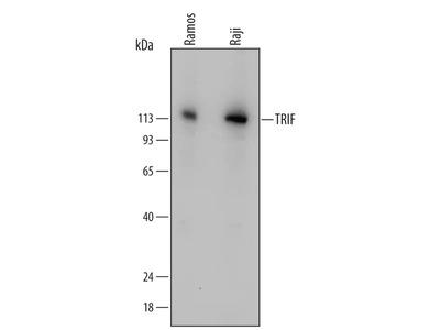 TRIF /TICAM1 Antibody