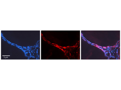 CUX1 antibody - N-terminal region (ARP34139_P050)