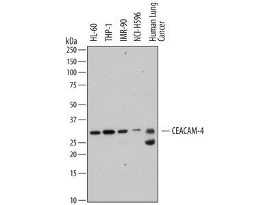 CEACAM-4 Antibody