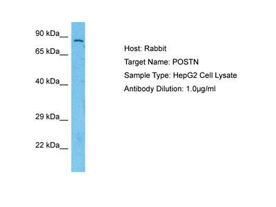 POSTN antibody - N-terminal region (ARP41570_P050)