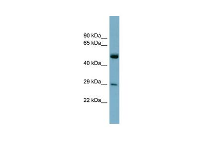 RAB27A antibody - middle region (ARP56591_P050)