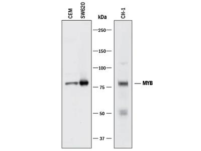 MYB Antibody