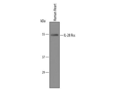 Human IL-28 R alpha / IFN-lambda R1 Antibody