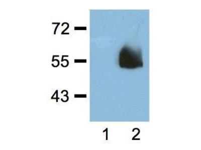 Anti-HA tag antibody [HA.C5]