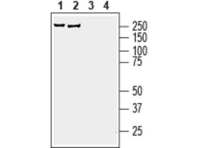 Anti-AKAP12 Antibody