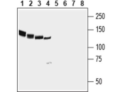 Anti-NrCAM (extracellular) Antibody