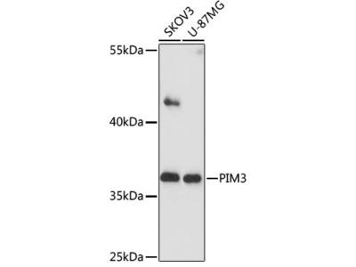PIM3 Polyclonal Antibody
