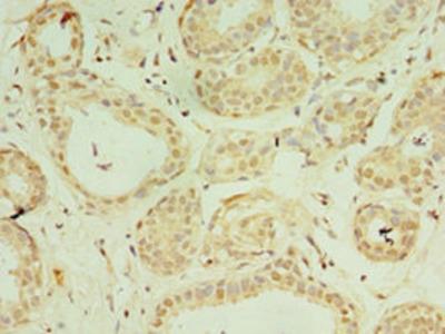IL37 Antibody