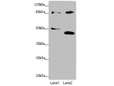 TAF5 Antibody