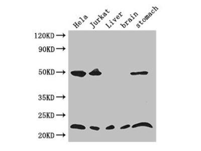 COMMD1 Antibody