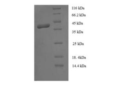 Recombinant Human MORF4 family-associated protein 1-like 1(MRFAP1L1) (E.coli)